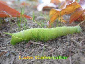 late caterpillar for web