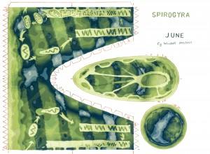K15-06-Spirogyra